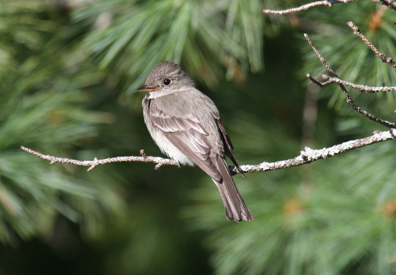 by-Nick-Anich-Eastern-Wood-Pewee
