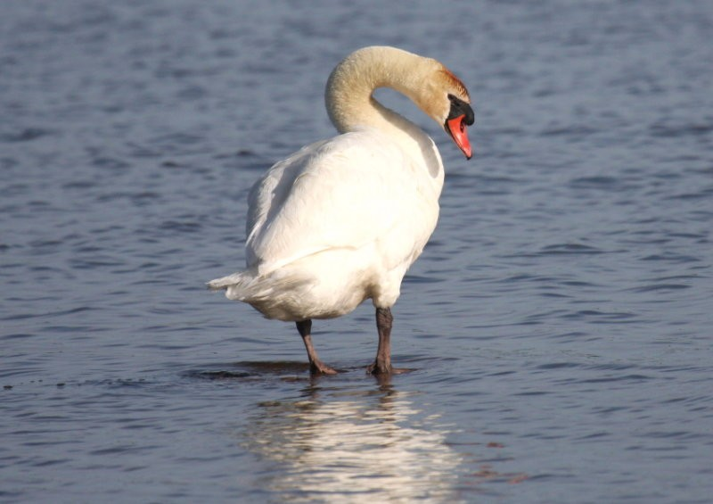by-Nick-Anich-mute-swan