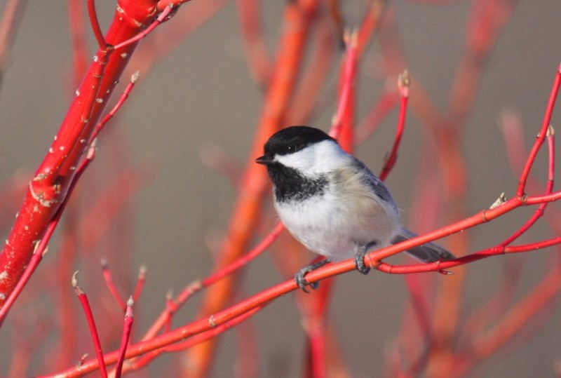 by-nick-anich-black-capped-chickadee