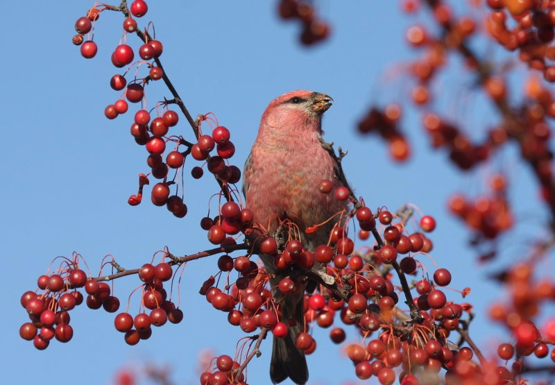 by-nick-anich-pine-grosbeak
