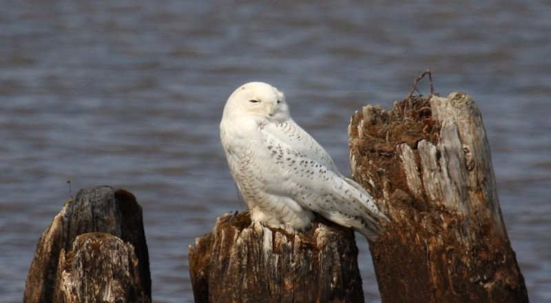 by-nick-anich-snowy-owl