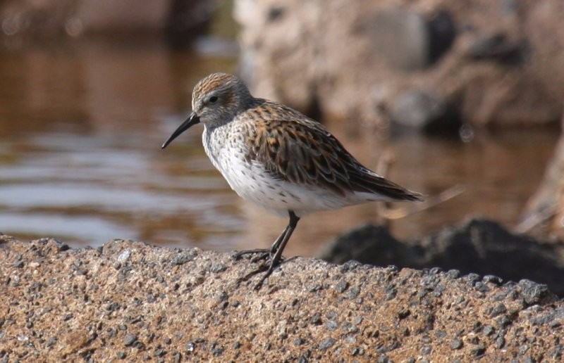 by-nick-anich-white-rumped-sandpiper