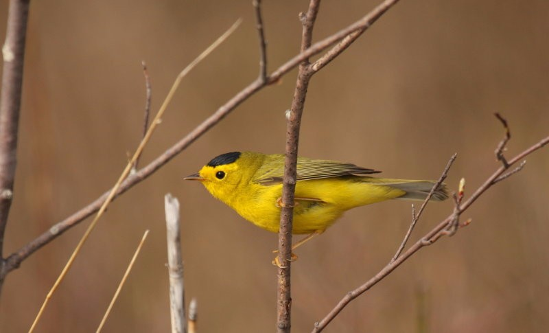 by-nick-anich-wilsons-warbler